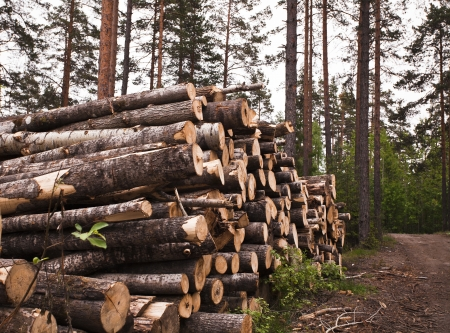Spruce Timber Logging in Forest Stock Photo - 19141626