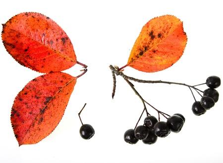 Black ashberry  Black rowan  Black chokeberry  Aronia melanocarpa  photo