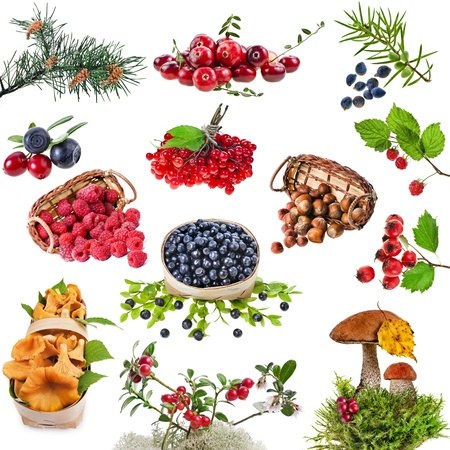 juniper tree: Collection set of wild forest plants with berries , fruits , fungi , nuts isolated on white background