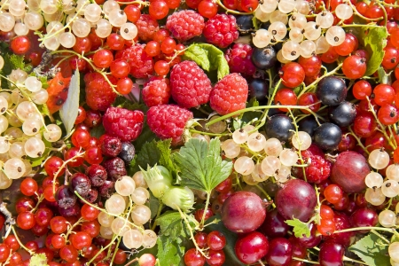 mountain cranberry: background of fresh berries Stock Photo