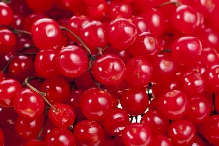 guelder rose berry: red berries Viburnum or arrow-wood