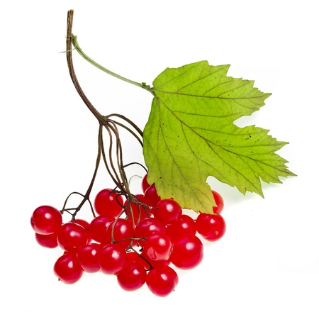 guelder rose: red berries of Viburnum isolate on white
