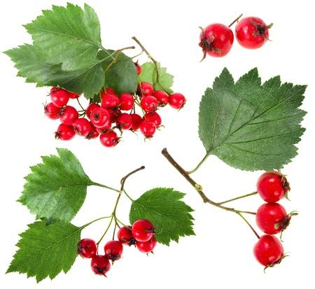 Sammlung Satz von Red haw Beere hawthornrn Sammlung isoliert auf weißem Hintergrund