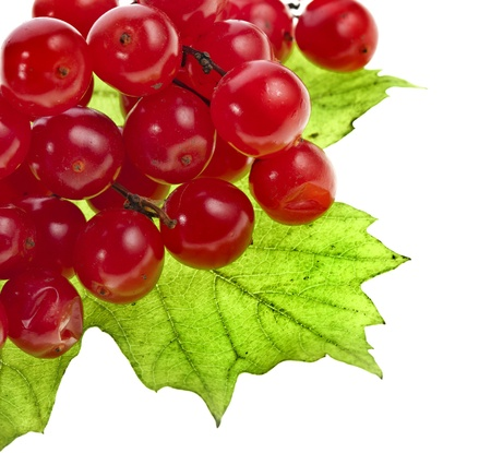 guelder rose berry: red berries of Viburnum  arrow wood , isolate on white Stock Photo
