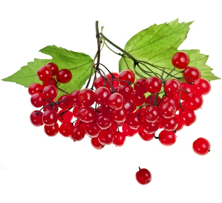 red berries of Viburnum  arrow wood , isolate on white photo