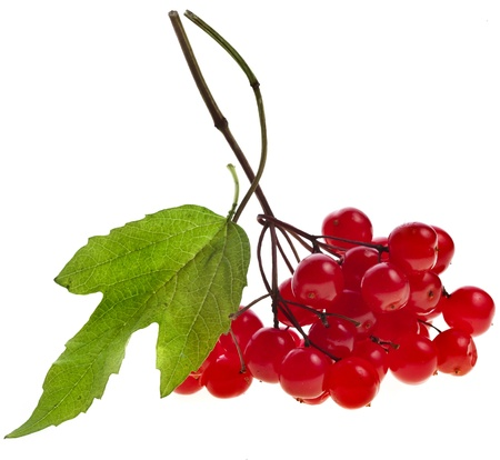 guelder: Berries of red Viburnum with leaves isolated on white