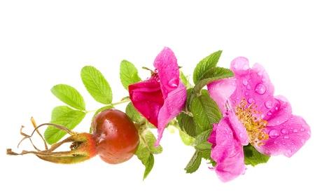 Rose hip, wild rose isolated on white background Stock Photo