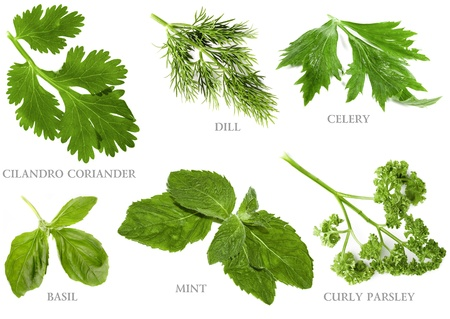 coriander: Collection set of fresh herbs and names, isolated on white background