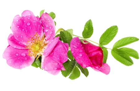 wilde Rose auf weißem Hintergrund