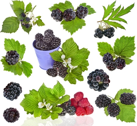 bramble: collection set of Blackberry dewberry close up isolation on white background