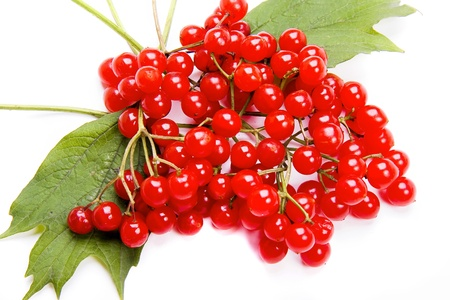 guelder: red Viburnum isolated on white Stock Photo