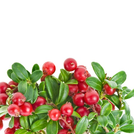 fresh Cowberries plant isolated on white background photo