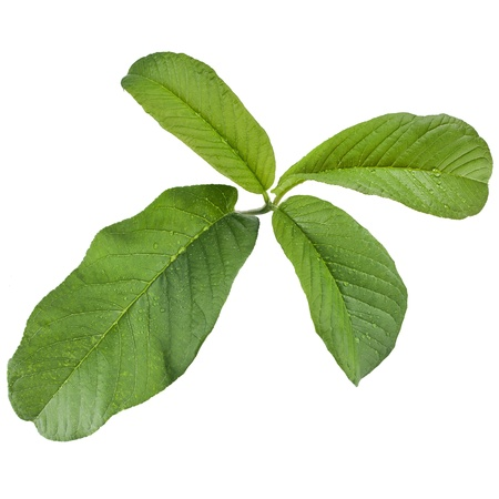 guava leaves close up isolated on white background Stock Photo