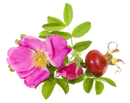 Rose hip, wild rose isolated on white