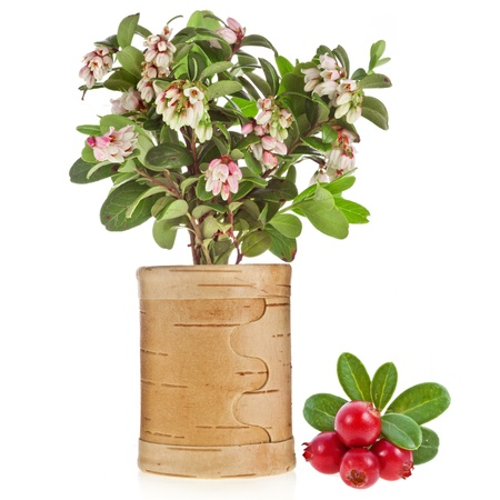Flowering Cowberry Lingonberry with fresh wild berries birch tues isolated on white photo
