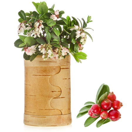 Flowering Cowberry Lingonberry with fresh wild berries in birch basket isolated on white photo