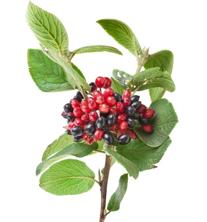 buckthorn: Black and red berries Viburnum lantana , branch isolated on white background