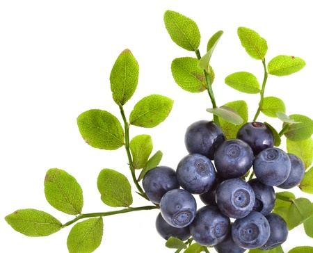 blueberry border closeup macro isolated on a white background photo
