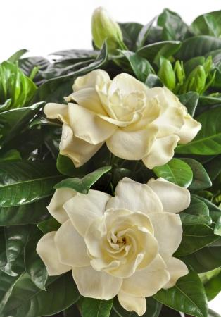 gardenia plant close up isolated on white background photo