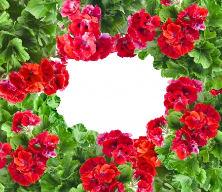 pelargonium: frame card of Geranium Pelargonium Flowers with copy space for text on white background