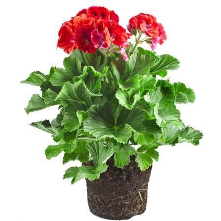 pelargonium: Red geranium flower in soil box close up isolated on white background