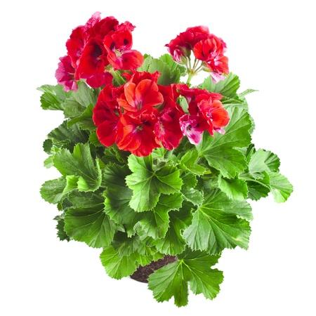 geranium: Red geranium flower close up isolated on white background