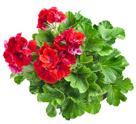 Red geranium flower close up isolated on white background photo