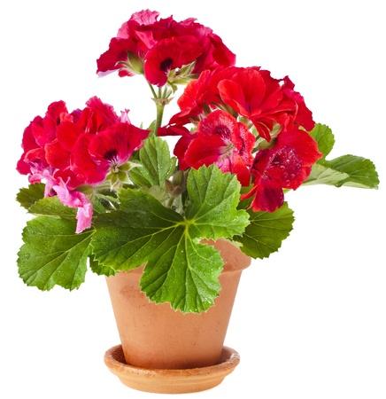 赤いゼラニウムの花、白い背景で隔離の鉢植えの植物 写真素材