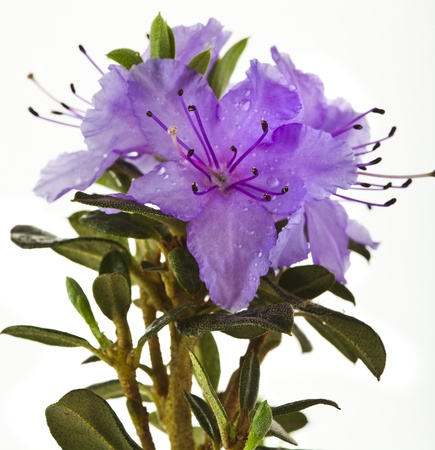 bush to grow up: Blooming Rhododendron  Azalea  close-up isolated on a white background