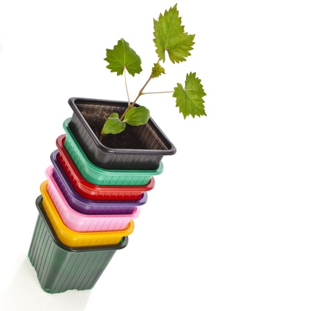 Grape seedlings in a disposable plastic flowerpot isolated on white background photo