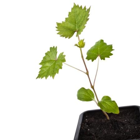 terrena: Piantine di uva in un vaso di fiori scatola di plastica nera vicino isolato su sfondo bianco