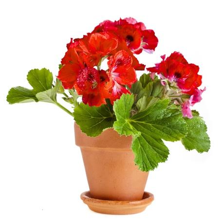 白い背景で隔離の土鍋で赤いゼラニウムの花
