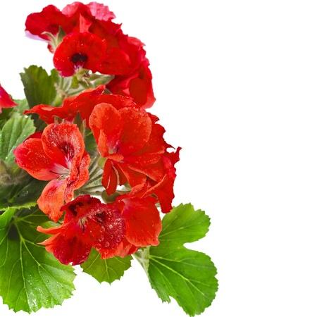 geranium: Border of Geranium Pelargonium Flowers with copy space for text on white background