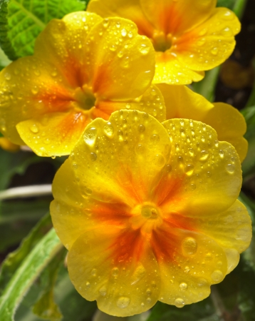 primula: Yellow blossom of primula flower with water drops background Stock Photo