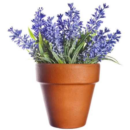 Lavender plant in pottery clay terracotta pot isolated on white background