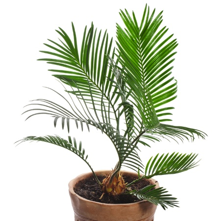 ornamental shrub: palm tree in brown flowerpot isolated on white background