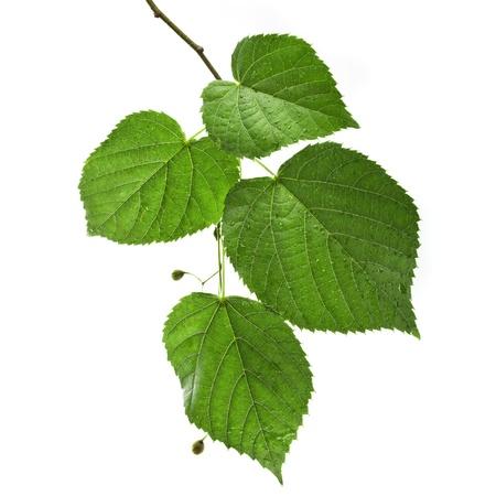 tilo: hojas de tilo verde con gotas de agua cerca aisladas sobre fondo blanco Foto de archivo