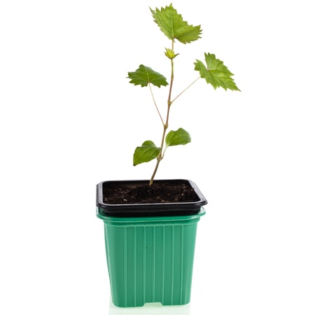 Grape seedlings in a plastic flowerpot isolated on white background photo