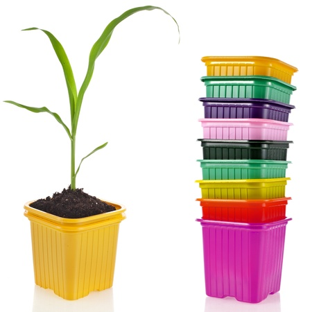 corn seedlings in a disposable colorful plastic flowerpot isolated on white background photo