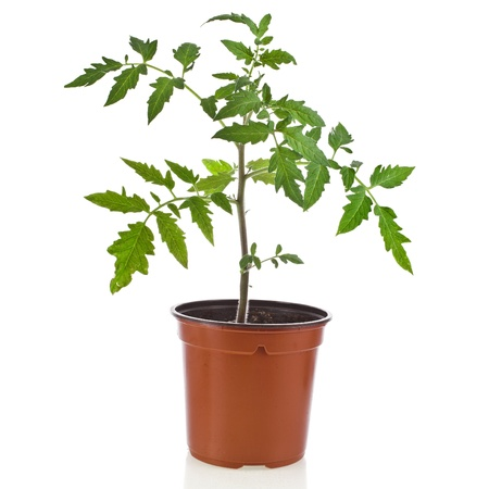 young tomato plant in flowerpot isolated on white background photo
