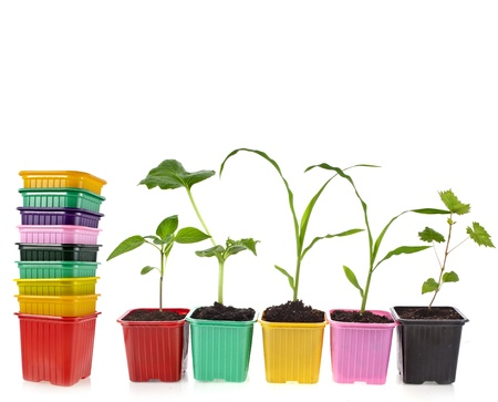seedlings in a colorful plastic flowerpot isolated on white background photo