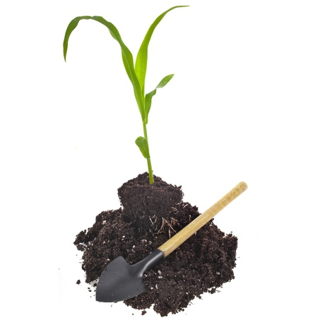 corn seedling sprout in a hill soil dirt isolated on white background photo