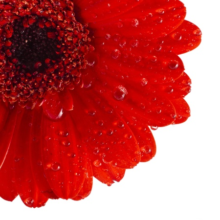 head close up: Colorful Gerbera flower head close up macro shot isolated on white background Stock Photo