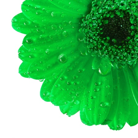 Green gerbera flower close up macro shot isolated on white background photo