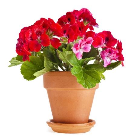 Fleur de g?nium rouge dans un pot en argile isol?ur fond blanc