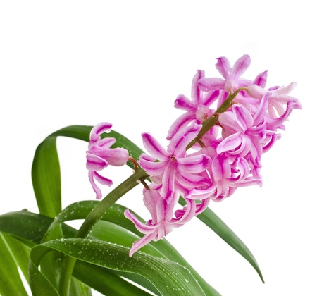 Beautiful Pink Hyacinth flower with water drops isolated on white background photo