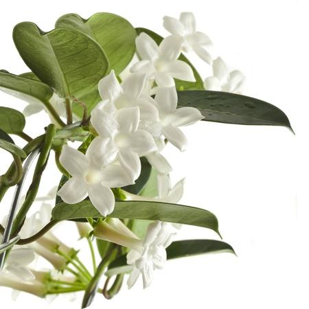 jessamine: Jasmine impianto Stephanotis isolato su uno sfondo bianco