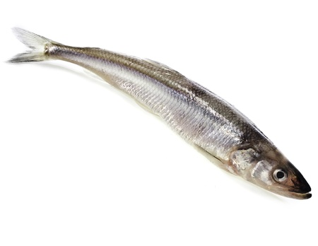smelt: one fresh smelts fish isolated on white background