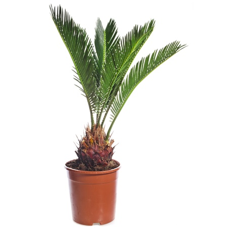 cycadaceae: palm tree in brown flowerpot isolated on white background