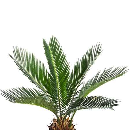 bush to grow up: Young palm tree isolated on white background